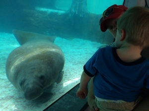 Checking out the manatee at Mote Marine.